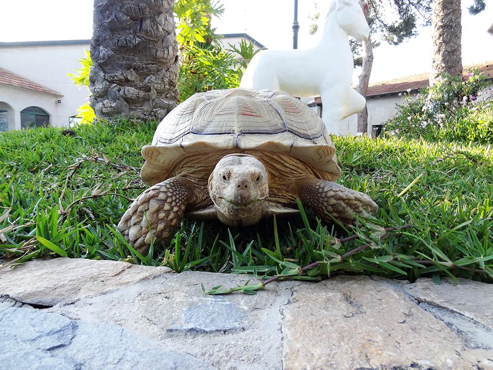 1 animales exoticos tortuga hospital veterinario san vicente copia