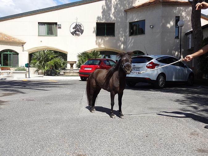 Hospitalización caballo miniatura