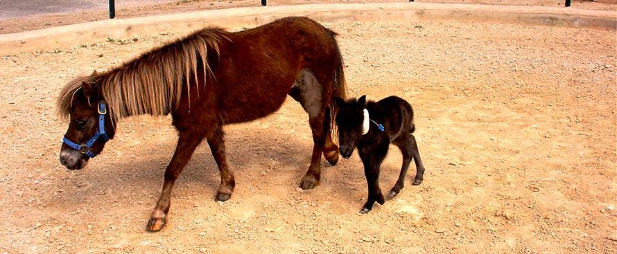 Hospitalizacion yegua y potro miniatura hospital veterinario san vicente copia