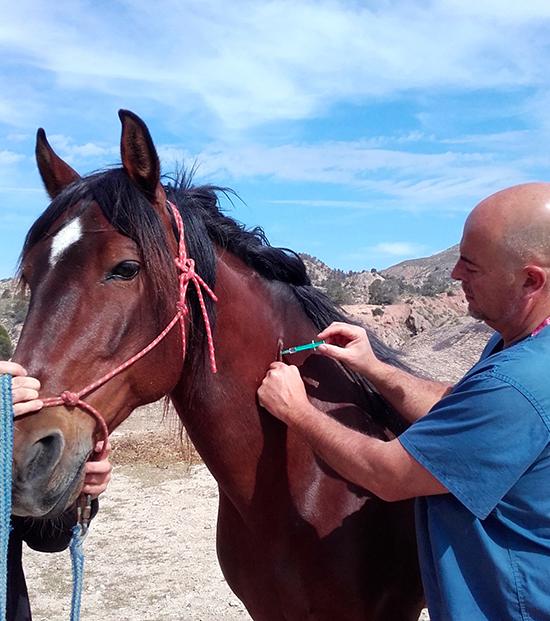 Vacuna caballo Hospital veterinario san vicente