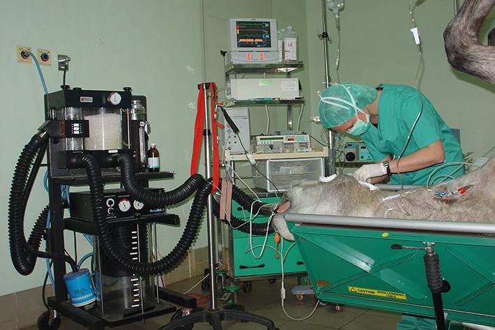 Anestesia cirugía caballo