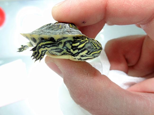 animales exoticos tortuga hospital veterinario san vicente 3 copia