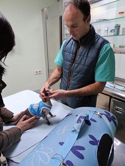 gato esfinge hospital veterinario san vicente 3