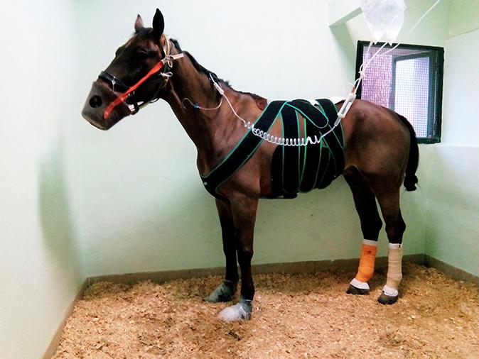 Hospitalización caballo cólico