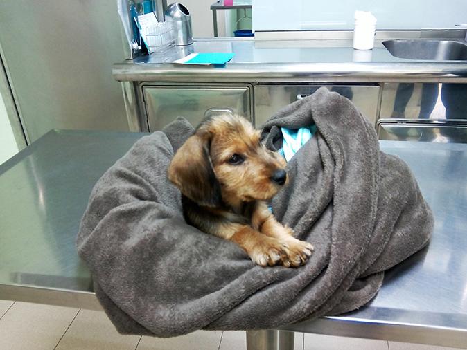 visita cachorro teckel hospital veterinario san vicente 2