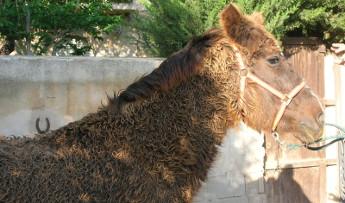 La Enfermedad de Cushing en el caballo
