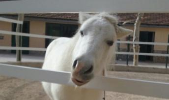 Parálisis facial en un pony