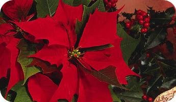 Las plantas de Navidad y los peligros que suponen para las mascotas