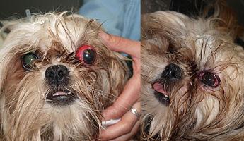 Información sobre las urgencias oftalmológicas en los perros