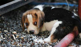 La parvovirosis en los cachorros