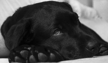 ¿Qué es la piómetra en una perra? ¿Cómo la puedo detectar?