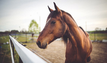 What is equine piroplasmosis? How do I know if my horse got it?