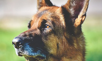 Liver problems in dogs with leishmaniasis