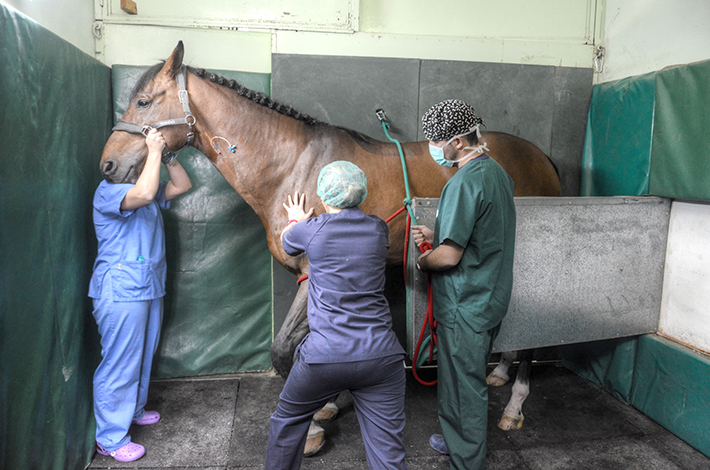 Horse box induction Veterinary Hospital anesthesia