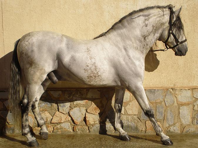 Hospitalización caballo pura raza español