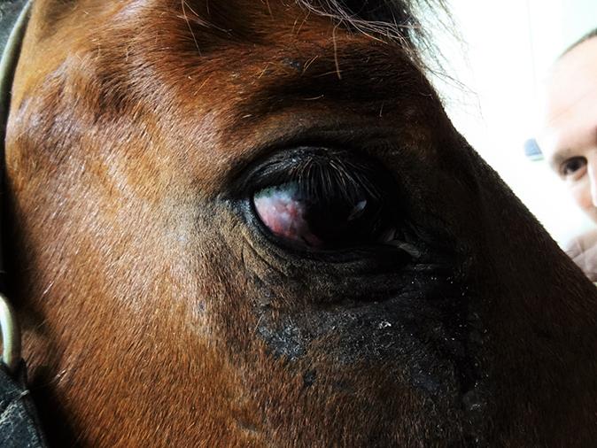 Oftalmología caballo Hospital Veterinario
