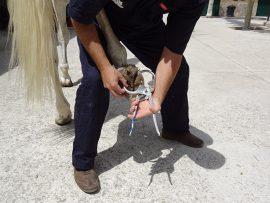 Quarter horse clips, Veterinary hospital